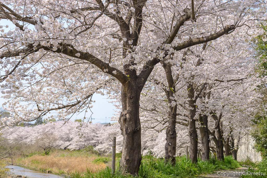 あきる野市・平井川の桜並木