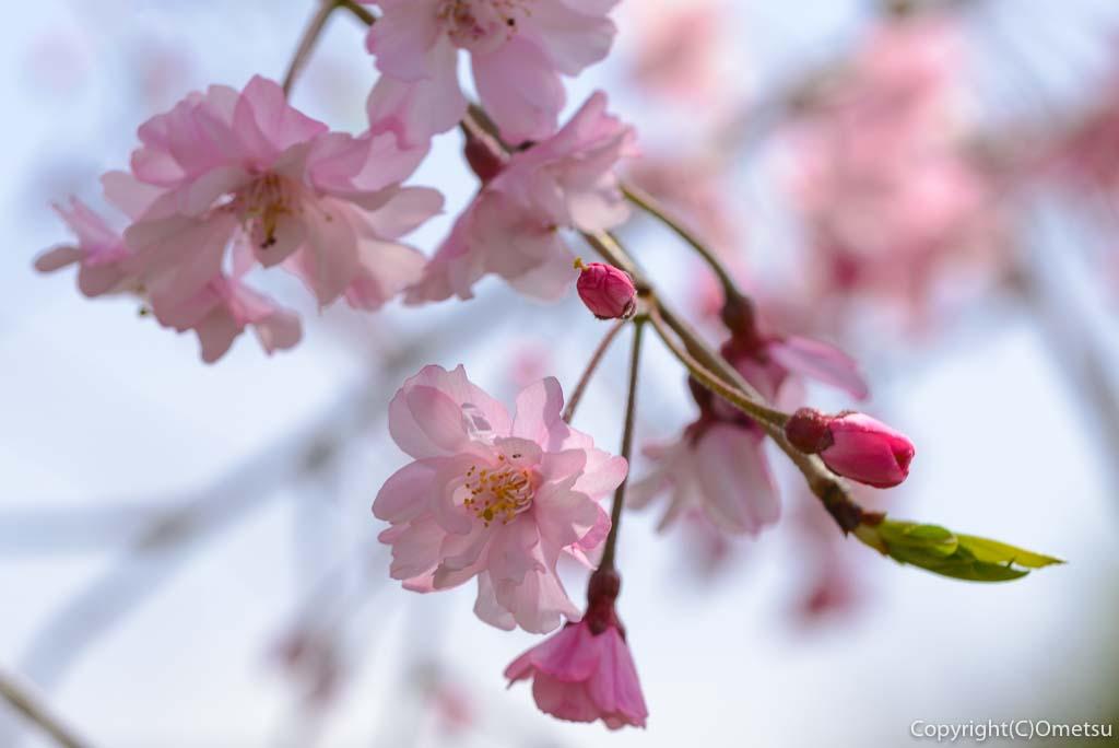 あきる野市、平井川沿いの、しだれ桜