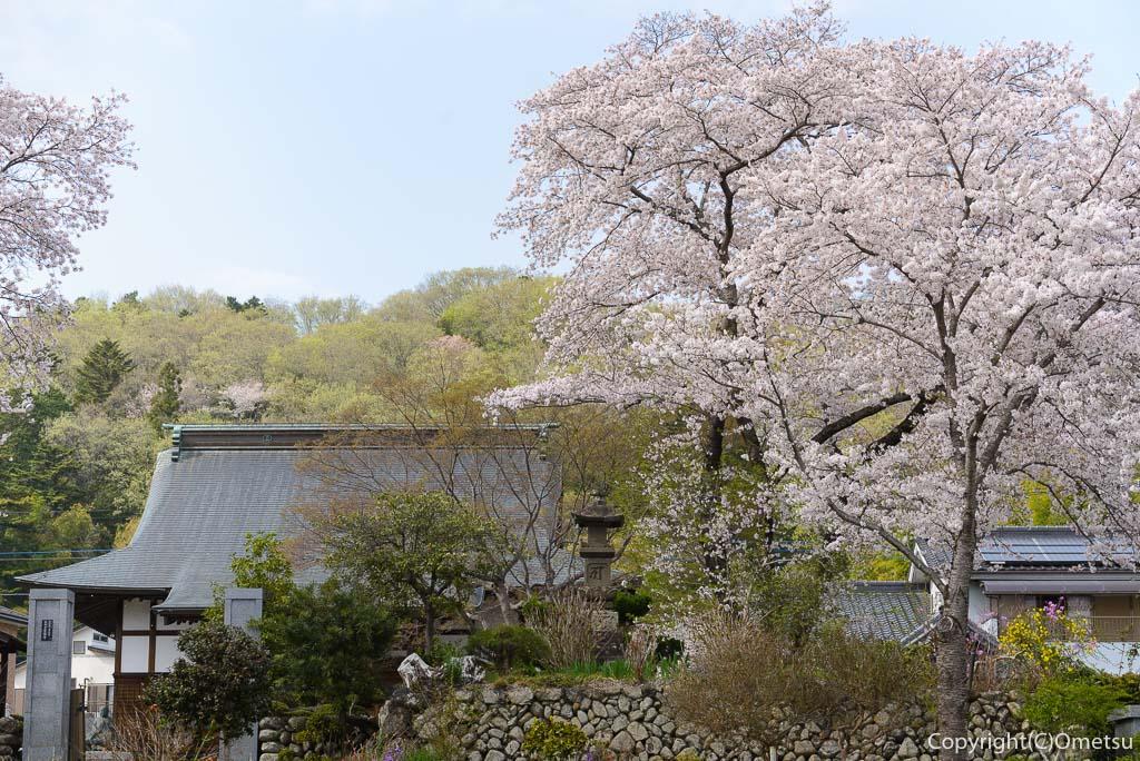 日の出町・常福寺の桜