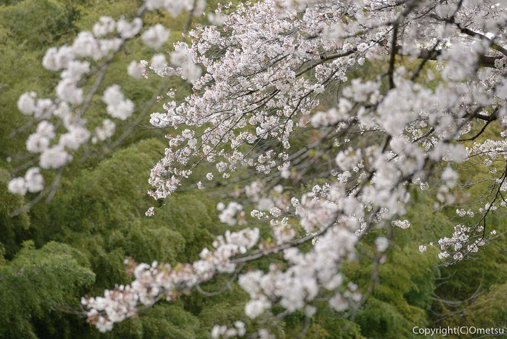 日の出町・塩田堤の桜