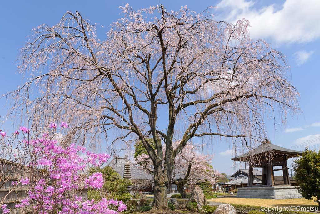あきる野市・普門寺の、しだれ桜