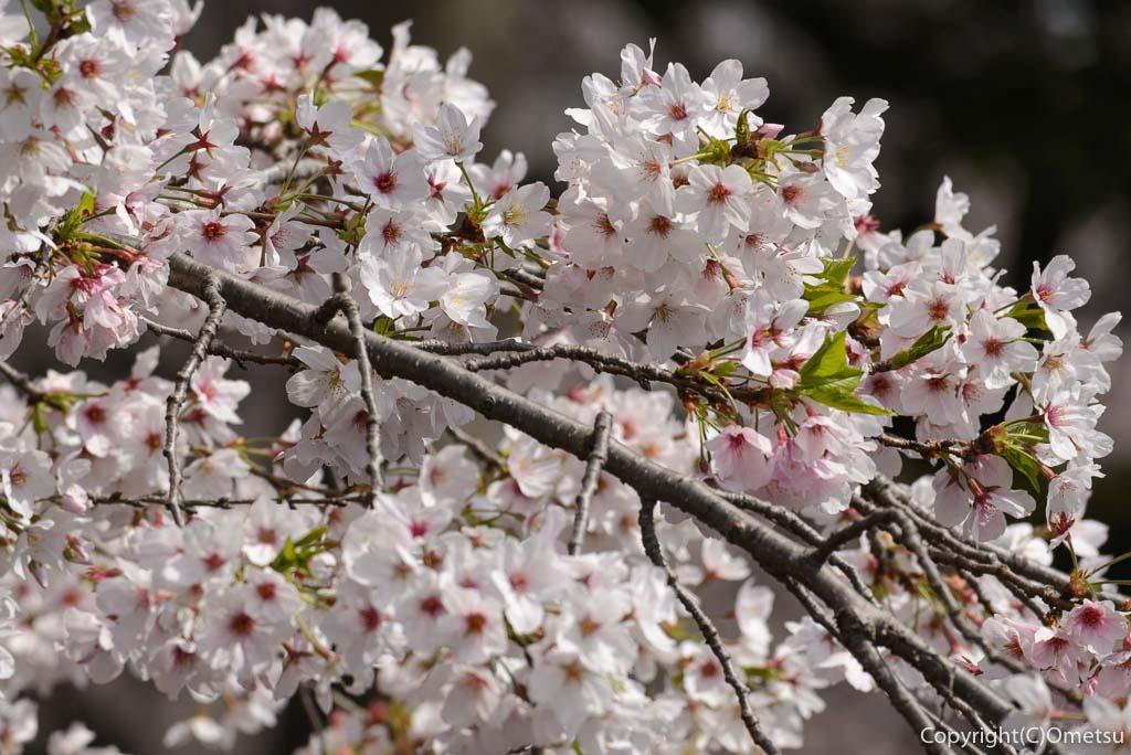 あきる野市・東秋留の南雲神社の、桜