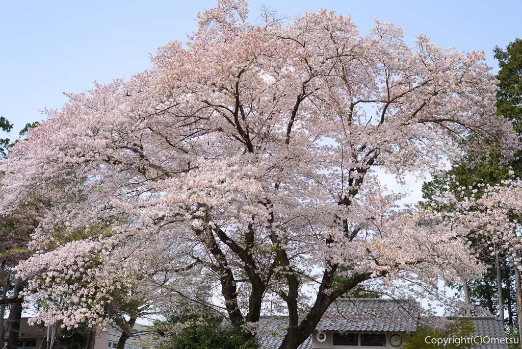 あきる野市・二宮神社の桜