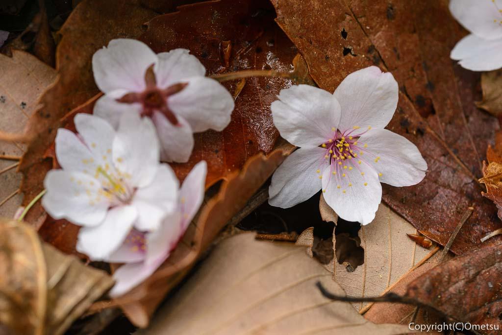 青梅市・雑木林のヤマザクラの散り花