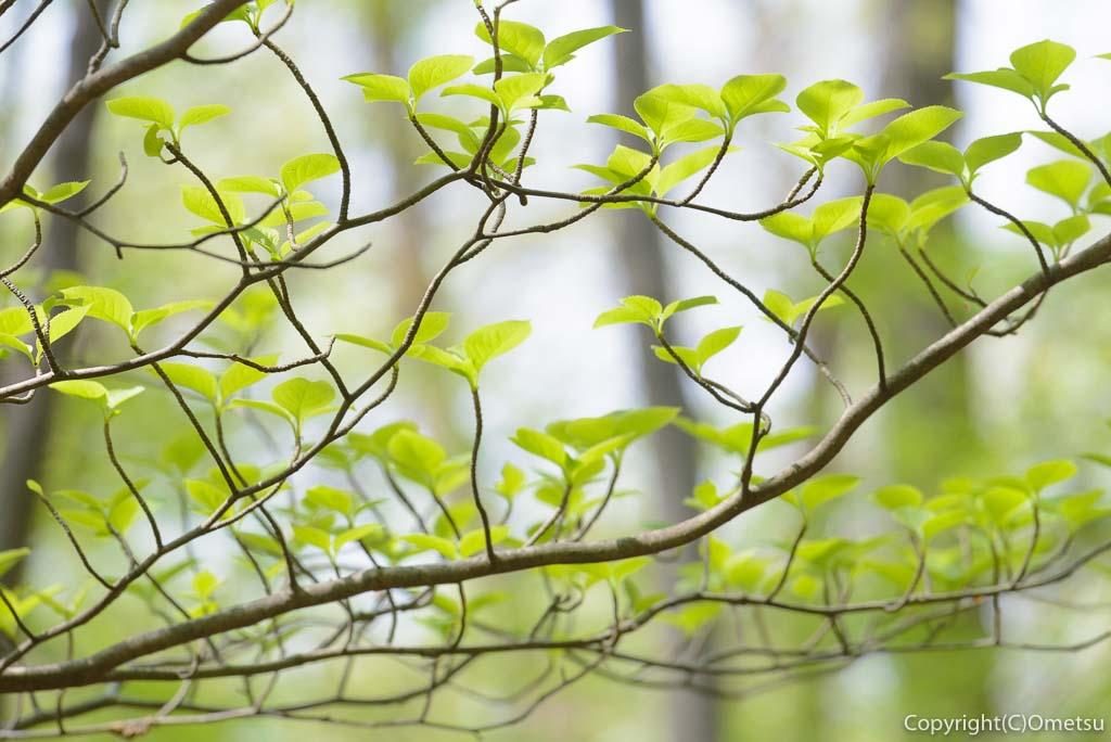 青梅市・友部の雑木林の新緑