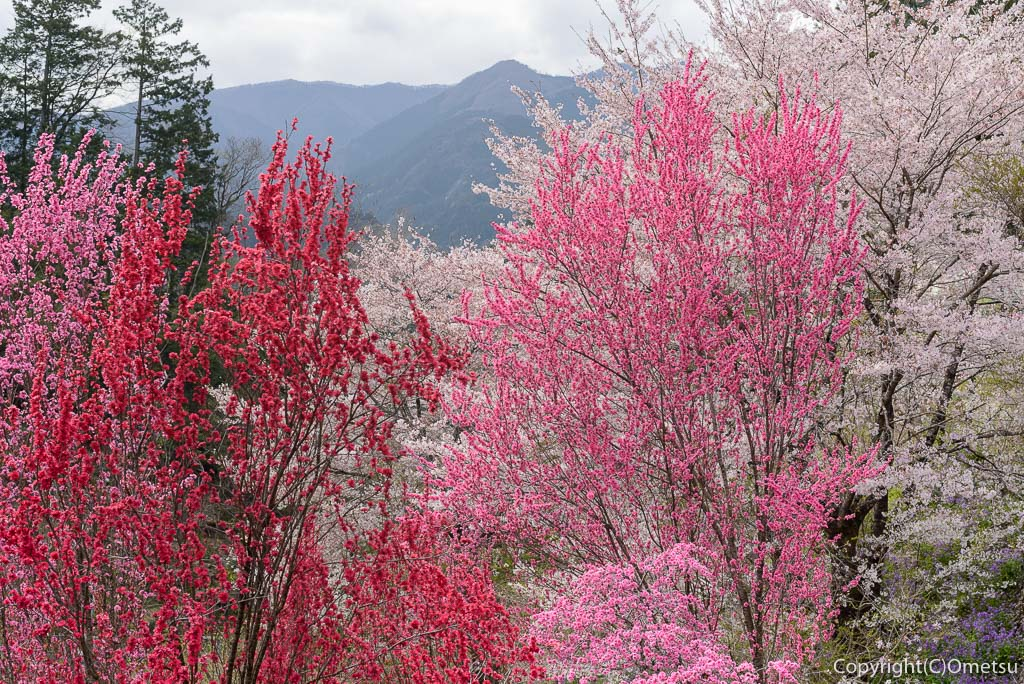 奥多摩町・向雲寺の桜と桃と、奥多摩の山