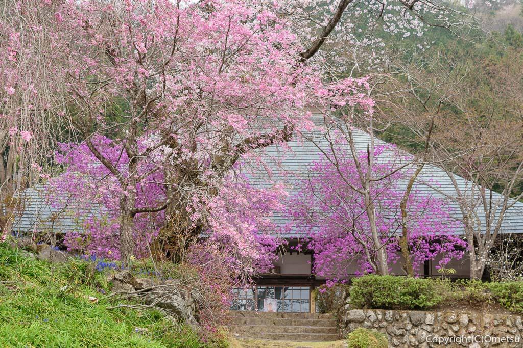 あきる野市・乙津の、龍珠院のしだれ桜とツツジ