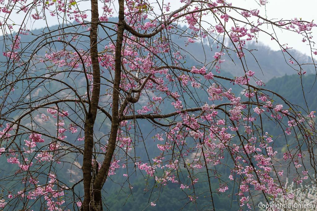 あきる野市・乙津の、しだれ桜