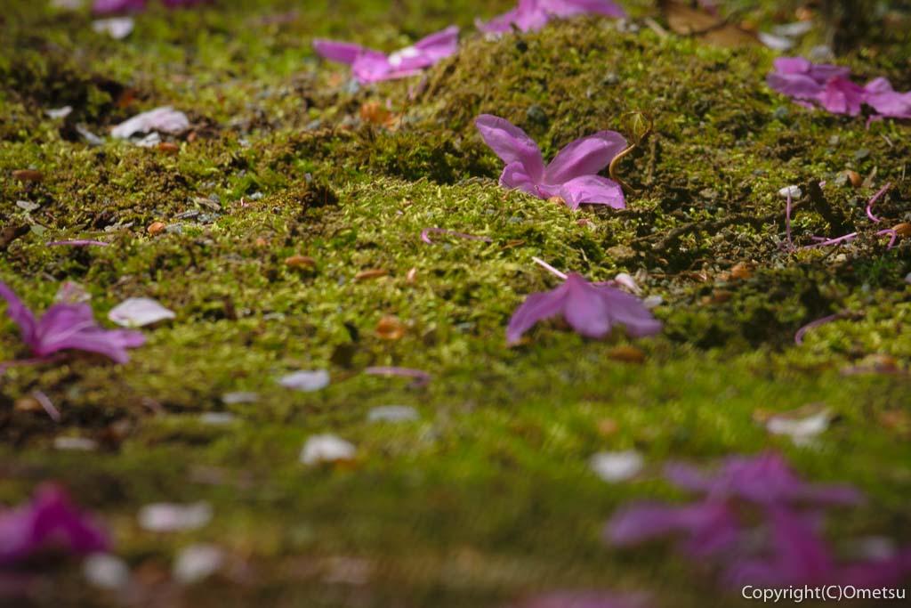 あきる野市・乙津の、龍珠院のツツジの落ち花