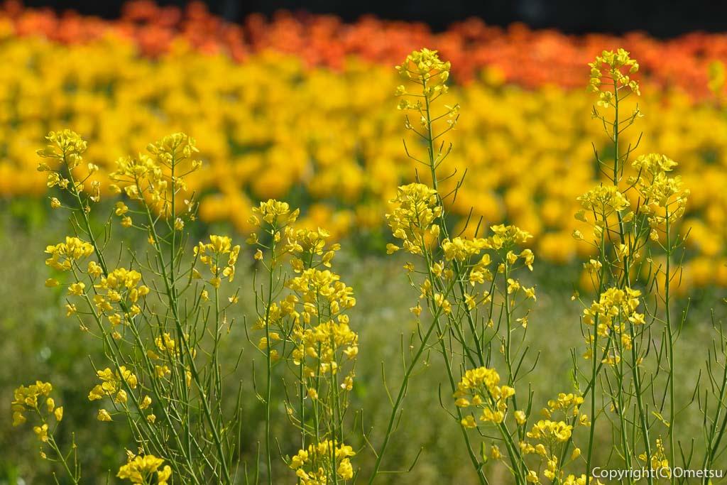 羽村市・根がらみ前水田のチューリップと、菜の花