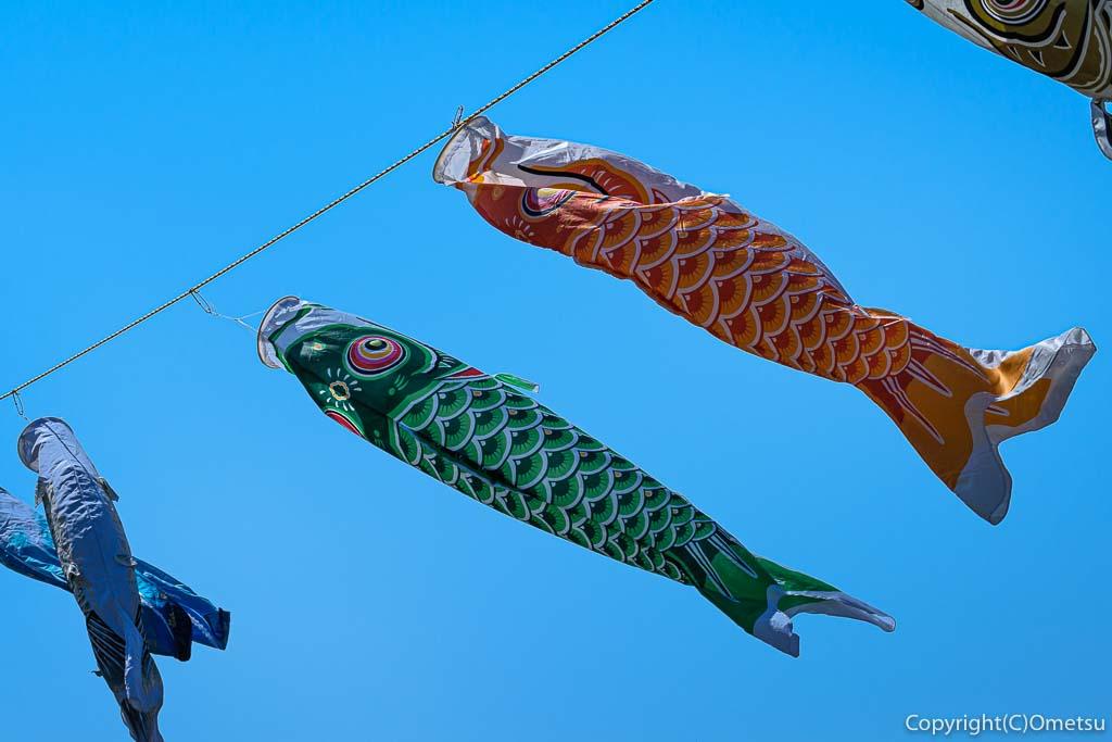 羽村市・根がらみ前水田・チューリップ畑の、鯉のぼり