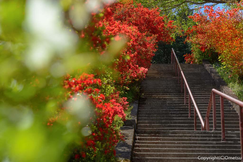 青梅市・愛宕神社の出世階段の、石段のツツジ