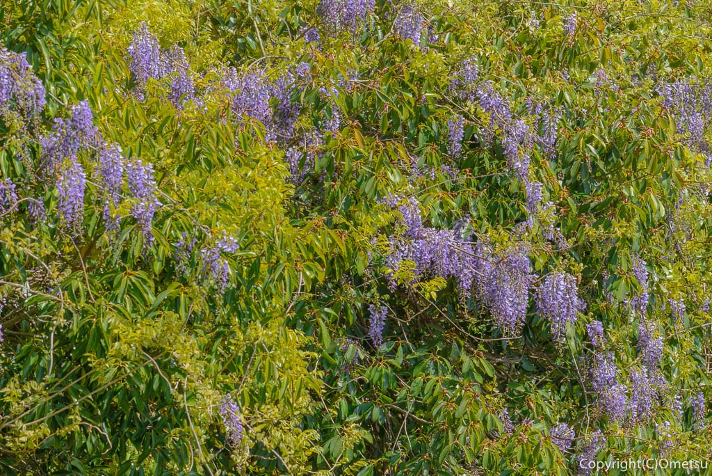 青梅・多摩川の藤の花