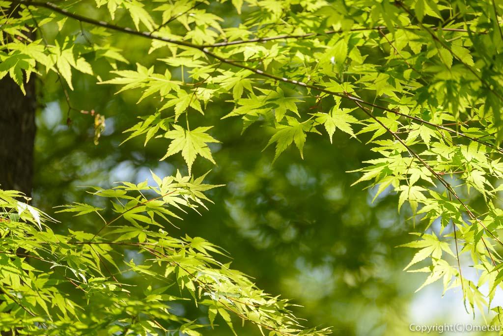 青梅市・霞丘陵ハイキングコースのモミジの新緑
