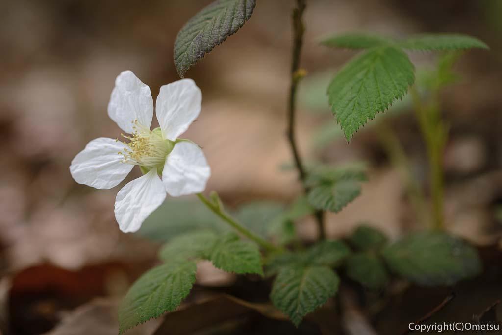 青梅市・霞丘陵ハイキングコースのクサイチゴの花
