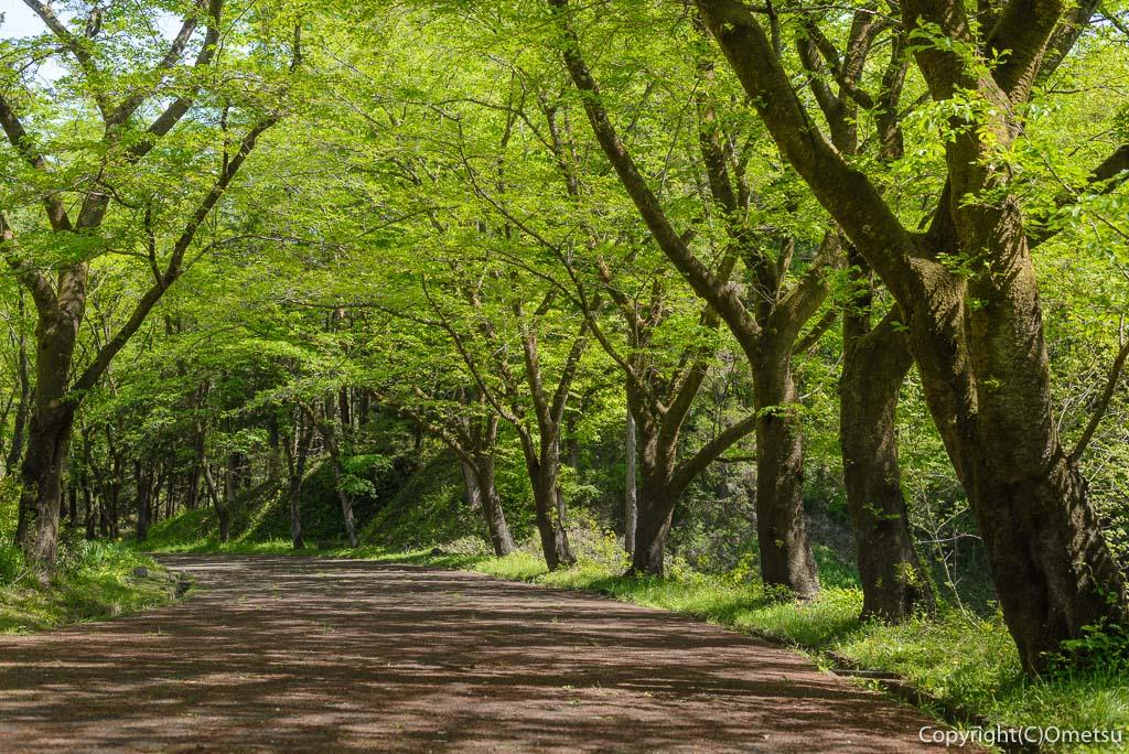 青梅市・霞丘陵ハイキングコースの立正佼成会・桜並木の新緑