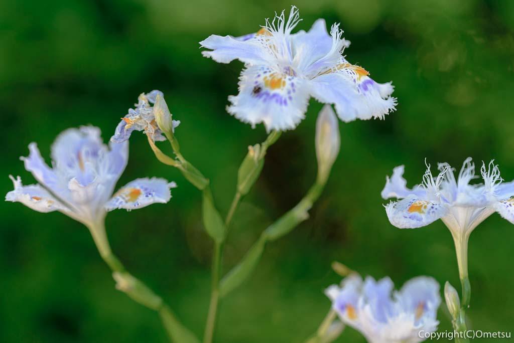 青梅市・薬王寺のシャガの花