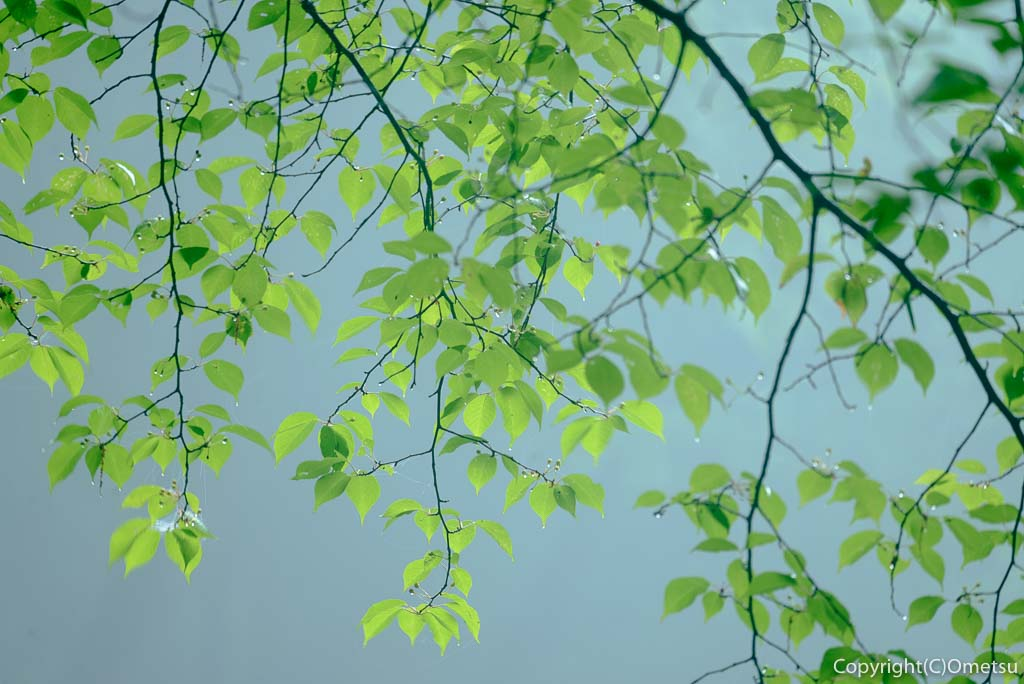 青梅の森・森の木の新緑の葉