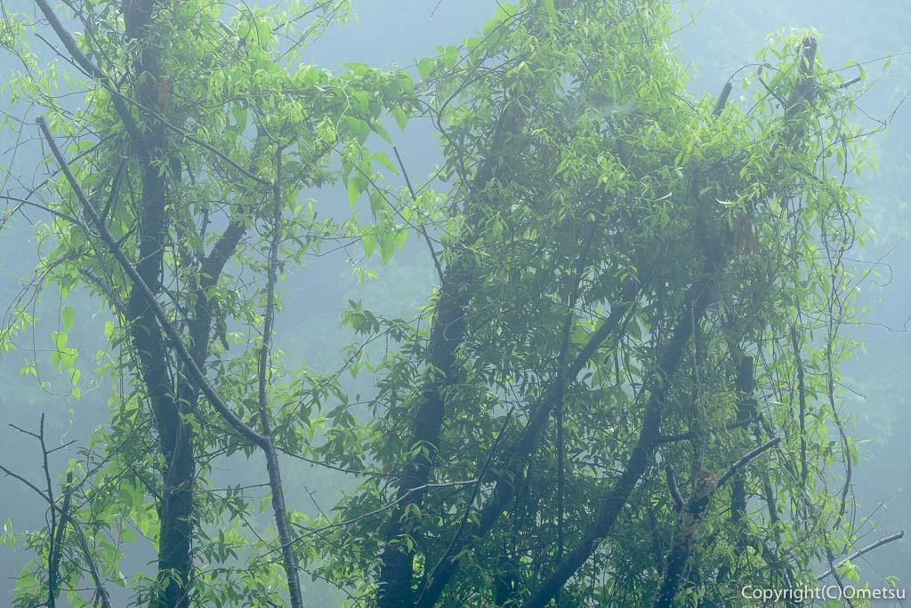 青梅の森・霧の風景・枯れ木