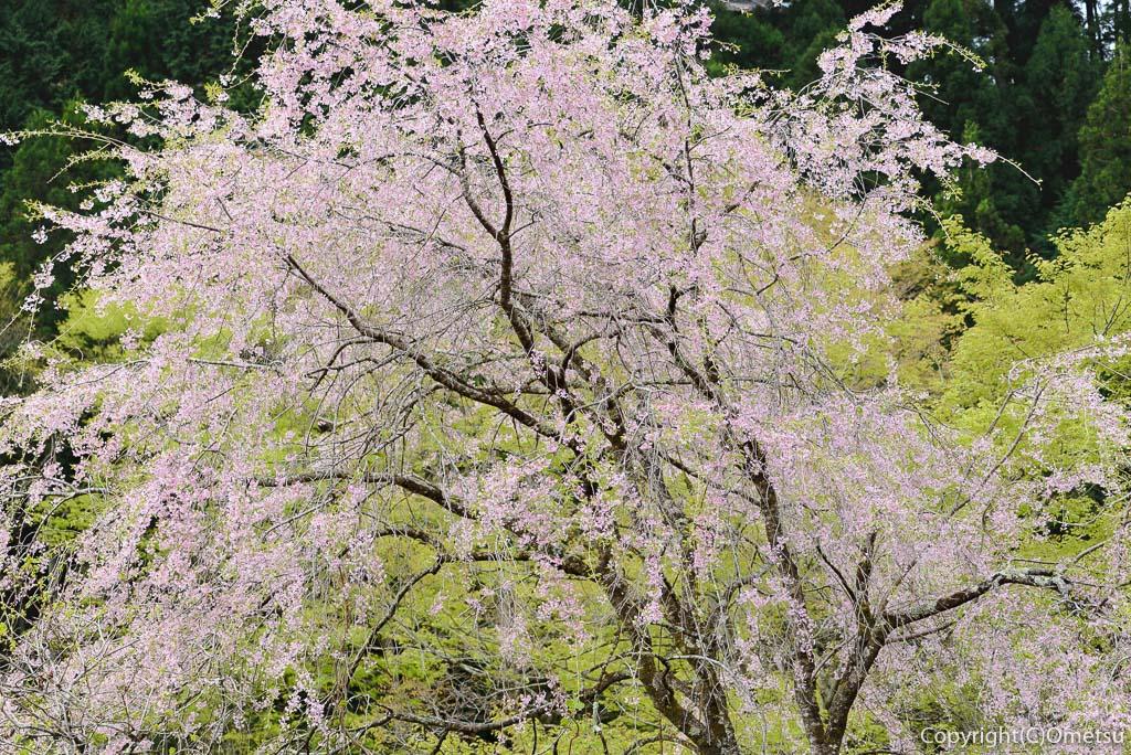 奥多摩町・寸庭の桜