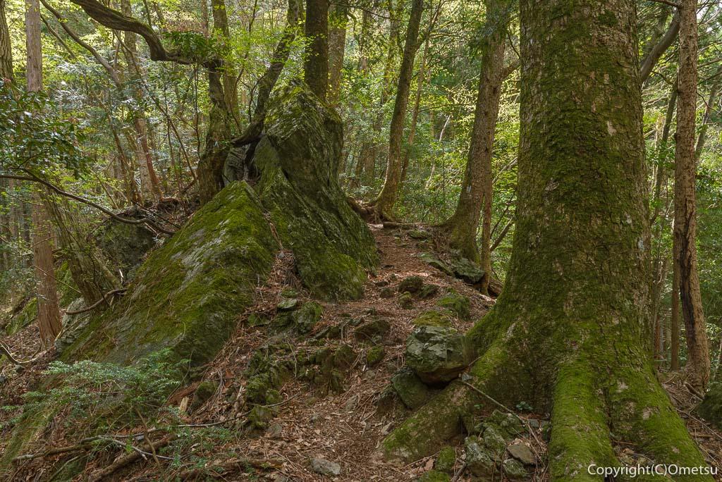 奥多摩町・大塚山・御岳山の黒五郎新道の尾根道の木