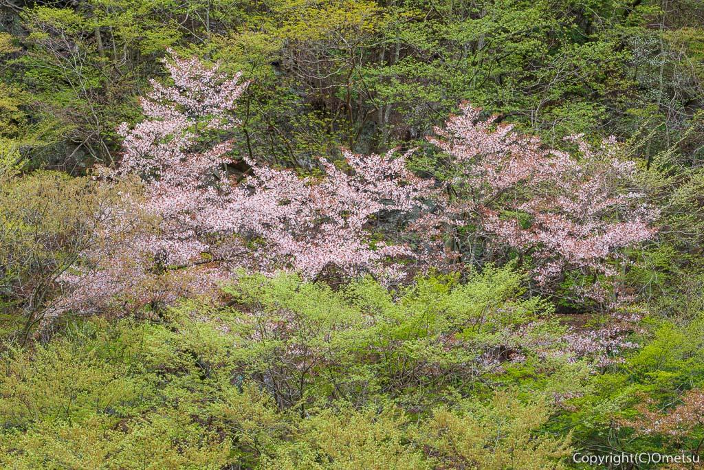 奥多摩町・川苔山の新緑と、ヤマザクラ