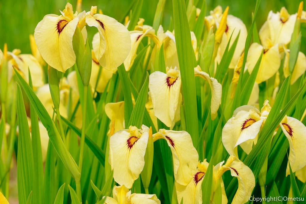 青梅市・吹上しょうぶ公園の黄色い菖蒲