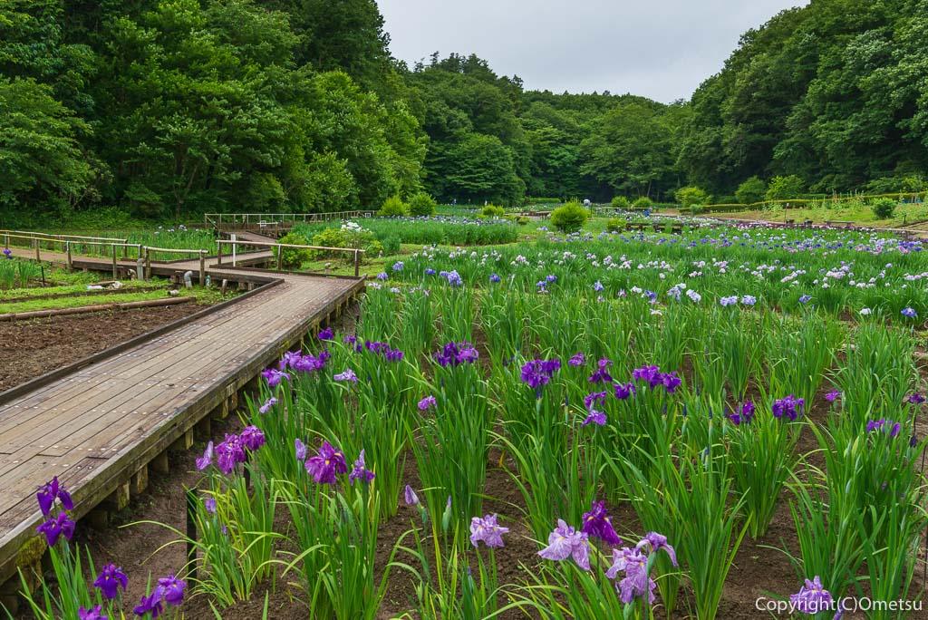 青梅市・吹上しょうぶ公園の菖蒲の木道