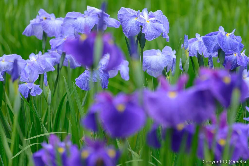 青梅市・吹上しょうぶ公園の青紫色の菖蒲