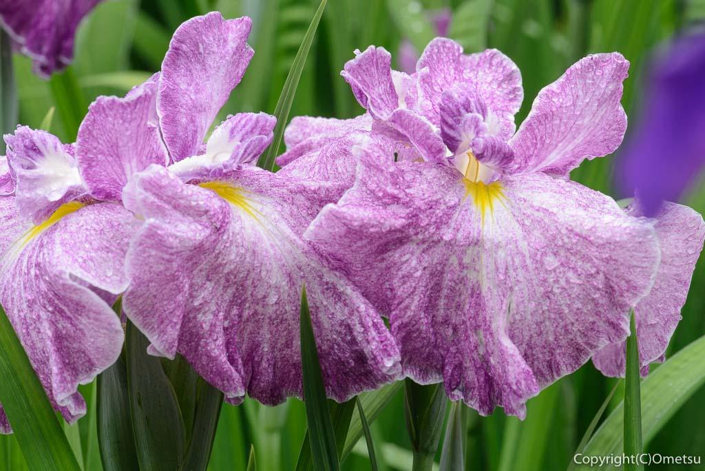 青梅市・吹上しょうぶ公園の赤紫色の菖蒲