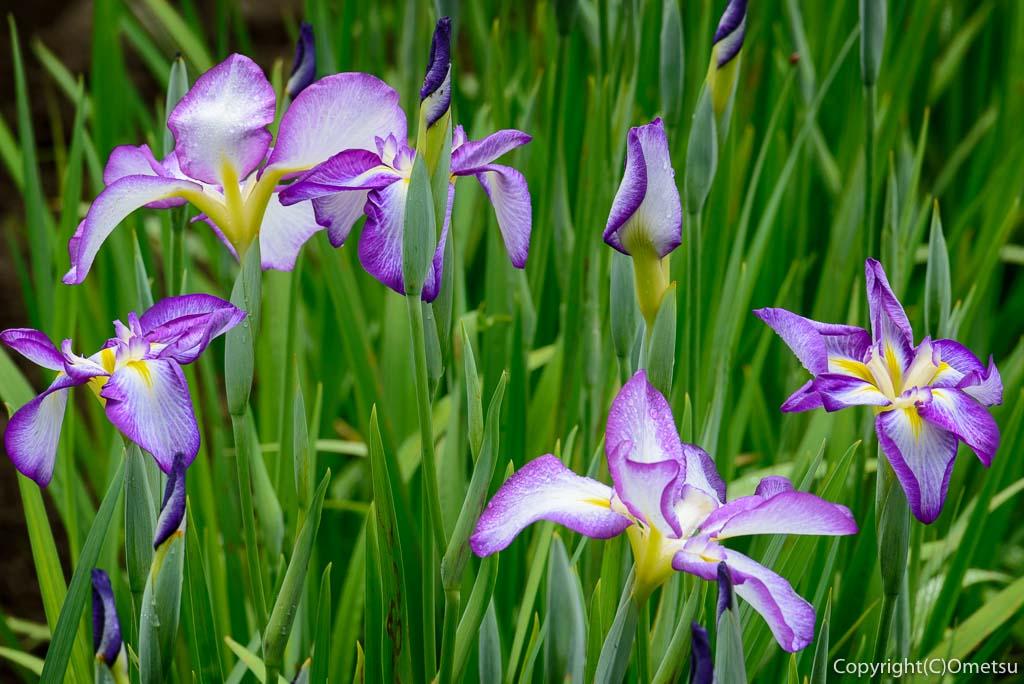 青梅市・吹上しょうぶ公園の紫色の菖蒲