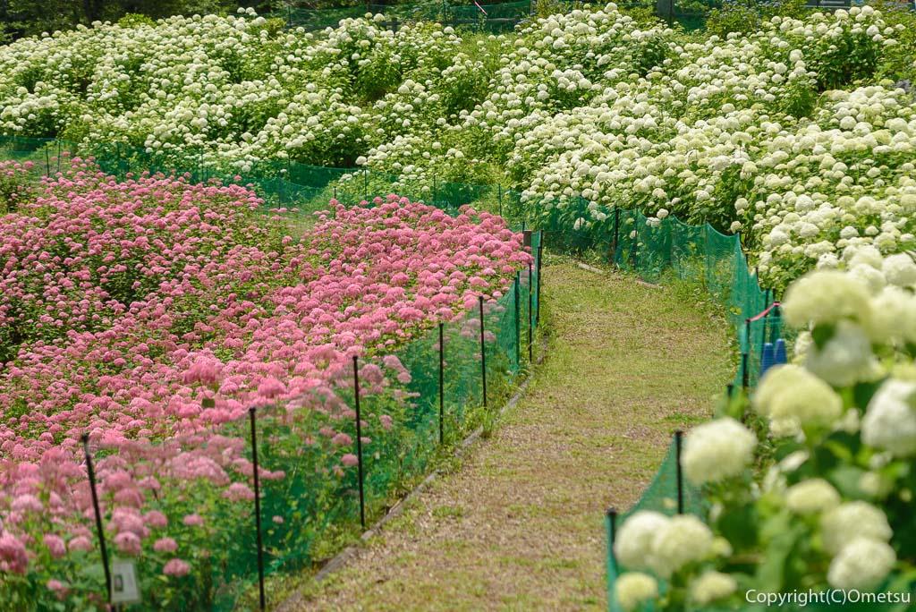あきる野市「わんダフルネイチャーヴィレッジ」のピンクアナベルと白いアナベル
