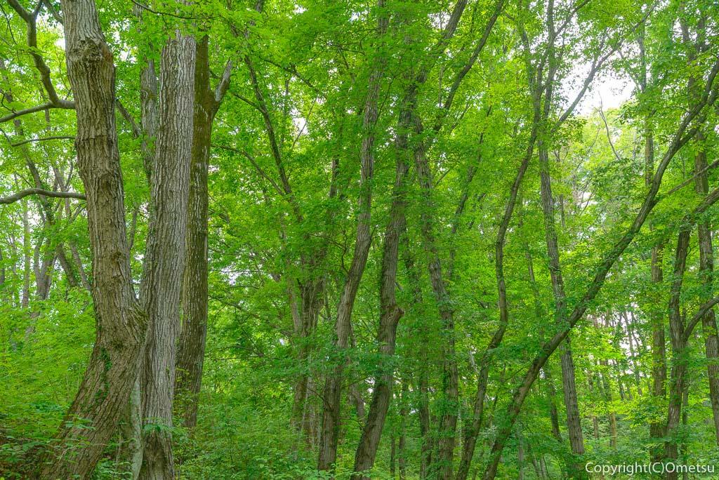 あきる野市「わんダフルネイチャーヴィレッジ」のアジサイ、アナベルの雪山近くの雑木林の緑